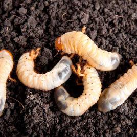 Grub Worm Control