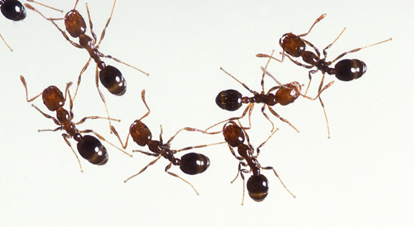 Fire Ant Control: How to Get Rid of Fire Ants and Keep them Away
