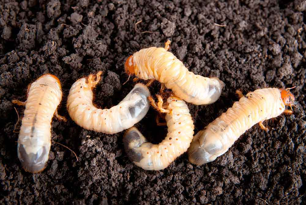 Grub Worm Prevention